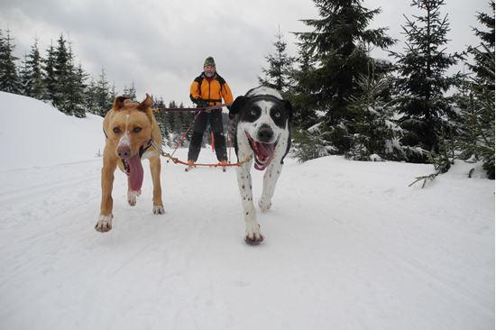 Obrázek Skijöring s Alaskan Dogs
